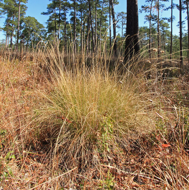 1-NWPL 2018_0007_Aristida palustris